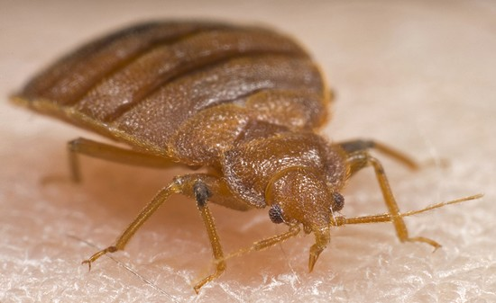 Bed bugs in hotels and on cruise ships?