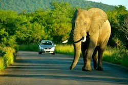 An elephant in South Africa's Kruger National Park