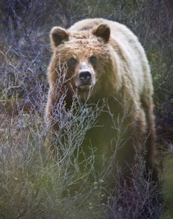 A grizzly bear in Denali National Park