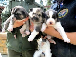 PuppyCam lets us look in on the Denali sled dog pups