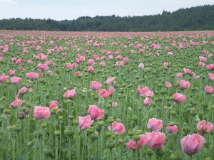 Waldviertel Poppy Fields by Welleschik via Wikimedia (Creative Commons)